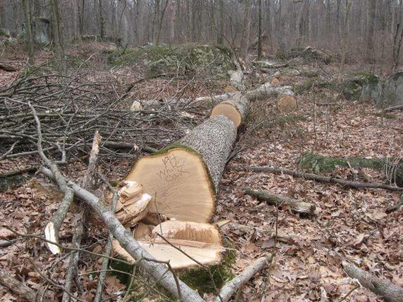 Изображение услуги спила деревьев